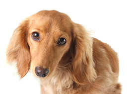 image of doxie